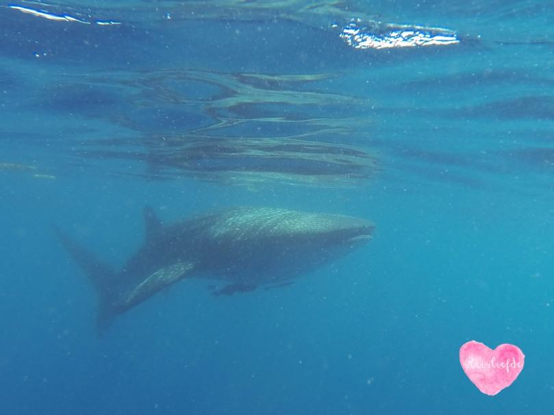 whaleshark-2066